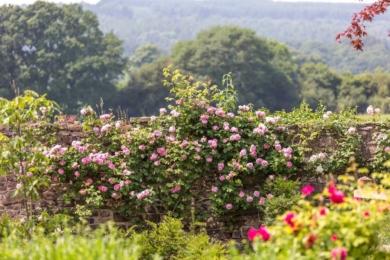 Троянда Constance Spry - найвища англійська альпіністка і оригінальна англійська троянда. Незважаючи на те, що вона цвіте лише один раз на початку літа, вона залишається дуже цінним сортом, що має чудове глибоке чашовидне цвітіння з дивовижно сильним ароматом мирри.