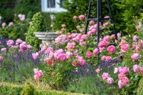 Англійські троянди в міксбордері – рекомендації Девід Остін Роузес