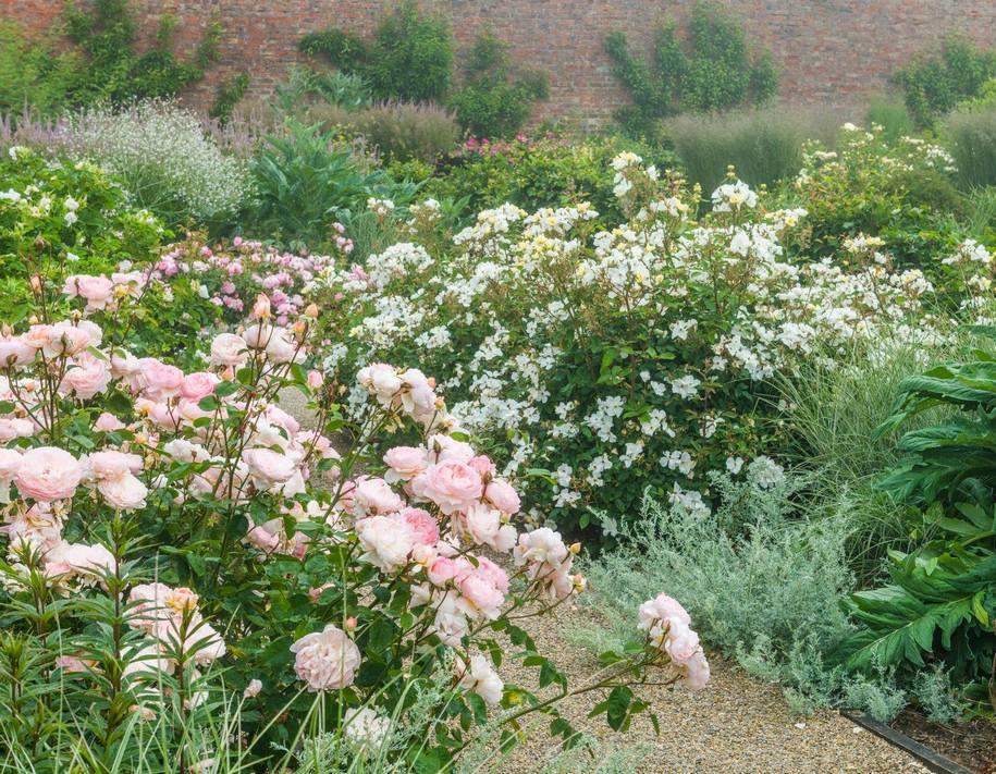 Ніжна троянда Gentle Hermione з поодинокими білими квітами Kew Gardens створюють безтурботне, спокійне місце в саду