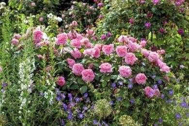 Троянда Gertrude Jekyll з біло-синіми партнерами створюють прохолодний, витончений ефект