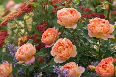 Троянда Lady of Shalott з фіолетово-червоними партнерами створюють святковий життєрадісний настрій