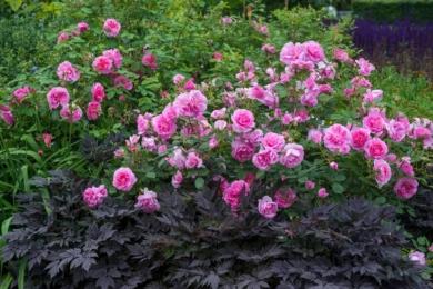 Темне листя гейхер додає глибини, відтіняючи рожевий колір троянд