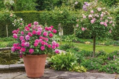 Погляньте, як ефектно в саду виглядає гощик з трояндою Princess Anne в супроводі рослин з широким листям і розсипу дрібних фіолетових квітів герані на зеленому фоні живоплоту