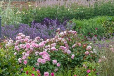 Троянда Olivia Rose в синьому морі – квітник виглядає чарівно