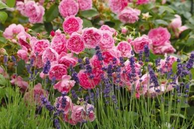 Класичний дует — кущова троянда Harlow Carr з лавандою