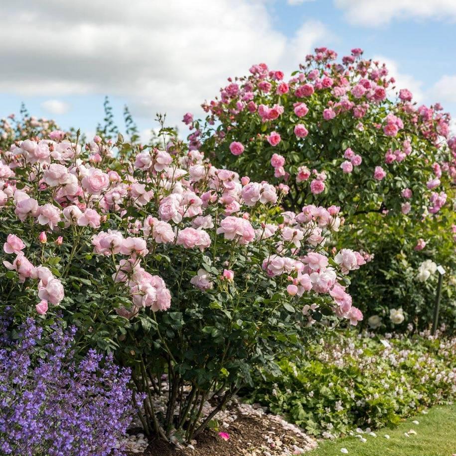 Троянда Scepter'd Isle — симпатична троянда з численними чашевидними квітами з жовтими тичинками в квітнику з іншими рослинами. Заодне на фото бачимо, як сформовано кущ