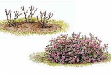 Розплідник радить для створення більшого кольорового ефекту висаджувати троянди одного сорту по три екземпляри