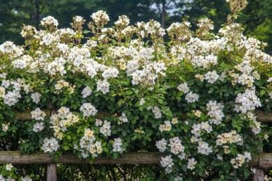 Троянда Kew Gardens за парканом в стилі американського ранчо мене особисто переміг без бою. Зверніть увагу – кущі розташовані доволі близько один від одного (розверніть фото)