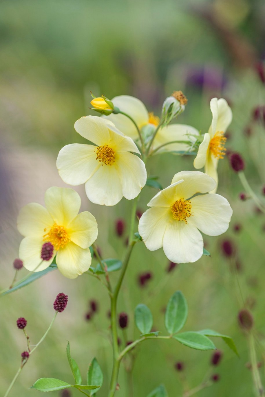 Шовковисті ніжно-жовті пелюстки троянди Tottering-by-Gently's чудово контрастують із щетинистими маленькими фіолетово-червоними квітами родовика лікарського сорту 'Tanna'»