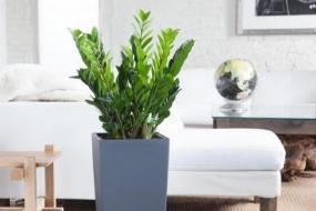 Доларове дерево, або заміокулькас — найкращий вибір для сучасних інтер'єрів