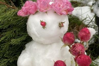 Морозостійкість троянд та українські зими — вкривати чи ні? © Анна Шульженко, Київ