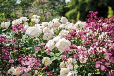 Білі троянди – завжди свято. На фото торжество троянди Дездемони з астранцією