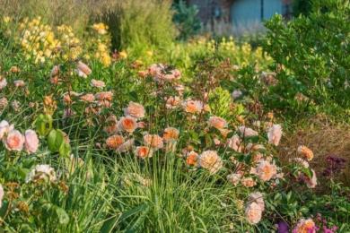 Англійська троянда Port Sunlight м'якого абрикосового тону попереду підбита зеленими та коричневими низенькими травами, позаду — філігранними колосками вищих трав