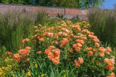 Кущова англійська троянда Lady of Shalott в пишному міксбордері. Попереду розташовані нижчі рослини, позаду – вищі
