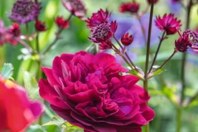 Експресія: троянда «Дарсей Бассел» і астранція