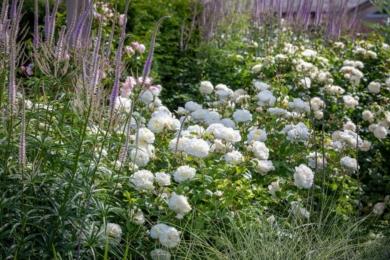 Кущова троянда Tranquillity зі святковими великими шапками білих квітів на контрасті з вузькими свічками вероніки — цікаве поєднання