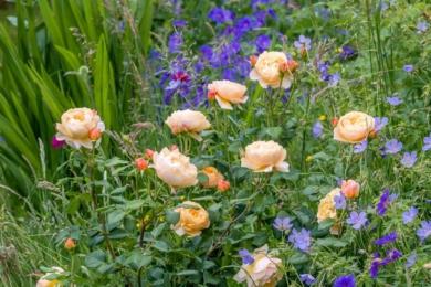Доповніть свої троянди пурпуровим кольором. Тут троянда Roald Dahl у поєднанні з дрібним ніжним цвітом герані Кларка 'Kashmir Blue' (попереду праворуч) і геранью 'Rosemoor' (зліва позаду)