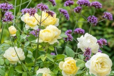 Насолода життєрадісними кольорами з кухонного вікна: троянда Vanessa Bell в поєднаннів з аргентинською вербеною