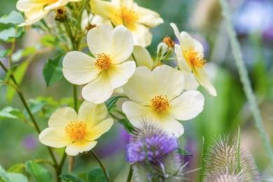 Одна з улюблених троянд у виставковому саду в компанії з черсакомзвичайним