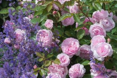 Невисока кущова англійська троянда Olivia Rose чистого ніжно-рожевого кольору в дуеті з блакитно-фіолетовими квітами котячої м'яти