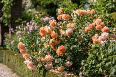 Цвітіння роянди Dame Judi Dench відрізняється особливо насиченим абрикосово-оранжевим відтінком, красиво зливається до країв