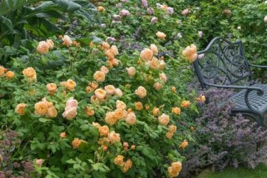 Троянда Roald Dahl, підбита котовником та очитком, обступила місце відпочинку ліворуч лави