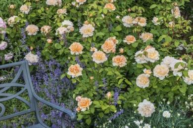 Праворуч лави троянда The Lady Gardener з гвоздикою та котовником продовжують композицію довкола місця відпочинку