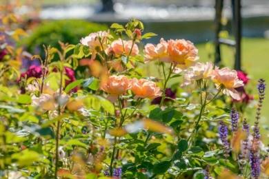 Сорт троянди The Lark Ascending – гарна абрикосова троянда в рустикальному стилі
