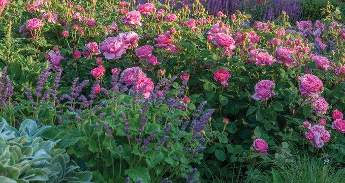 Квітник з трояндами в прохолодних рожевих тонах