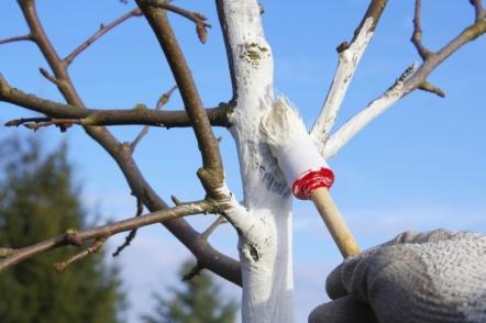 Як і чим побілити дерева восени?