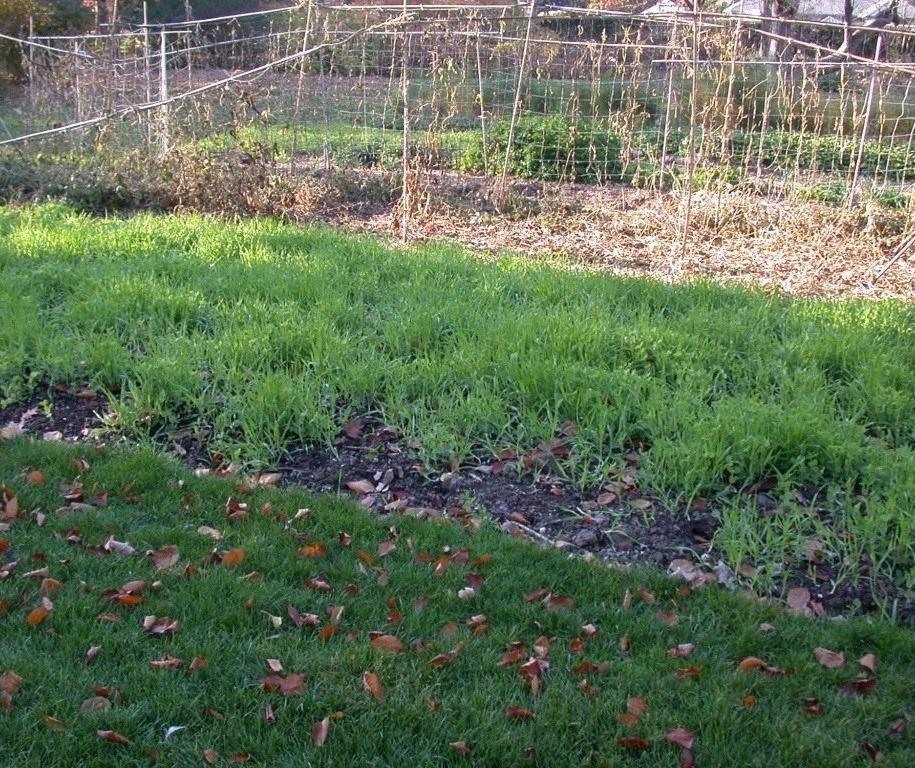 Сидерати, зазвичай, встигають взійти ще цієї осені, до зими, але можуть «стартувати» лише весною