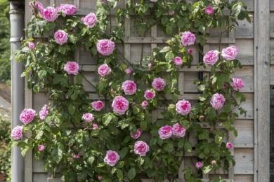 Невисокий, до 2.5 м повторно квітучий клаймбер «Гертруда Джекіл» ідельно підходить для декорування стін та огорож