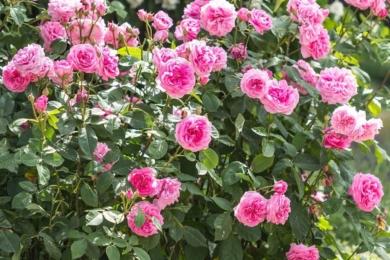 Розкішна троянда Девіда Остіна «Гертруда Джекіл» — шедевр, яких у нього дуже багато, двічі улюблена Троянда Нації