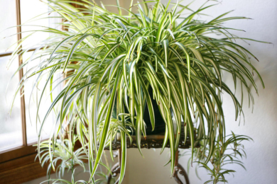 Хлорофітум чубатий «Варієгата» (Chlorophytum comosum var. variegata)