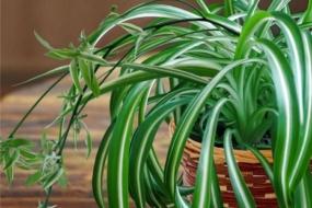 Хлорофітум — найкращий для очищення повітря в кімнаті