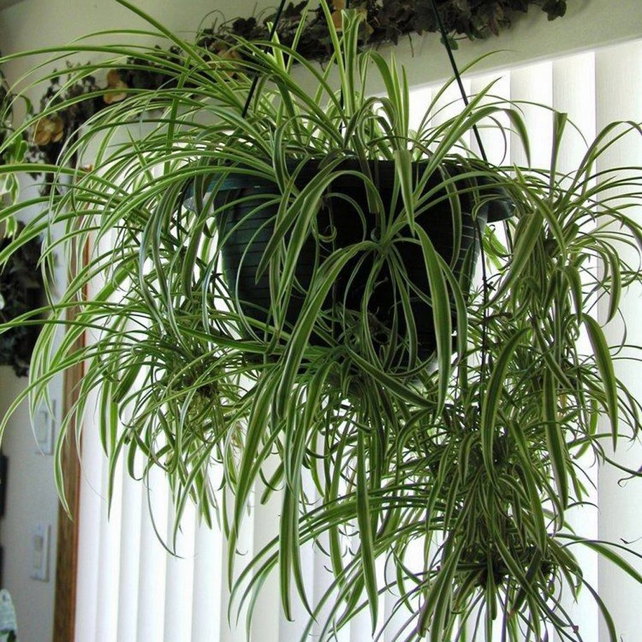 Хлорофітум - рекордсмен по швидкості зростання серед кімнатних рослин