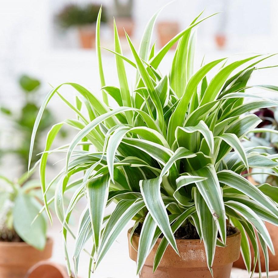 Хлорофітум - дуже проста в розмноженні рослина