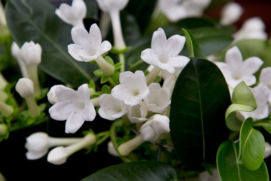 Елегантні і ароматні квіти стефанотіса - це щось феєричне!