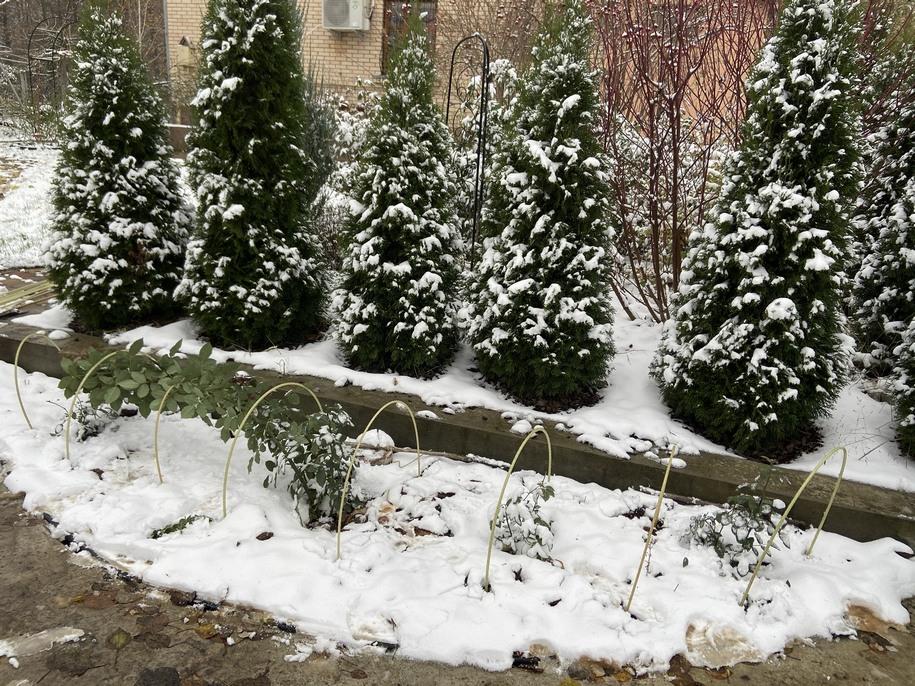 Рідкісні сорти японської селекції сховані зарання, щоб не хвилюватися, раптом мороз. Листя на трояндах було здорове, не обрізувалось. Дуги зі склоарматури діаметром 8 мм, довжина —2 м. Поки морозу не було, вганяються в землю легко