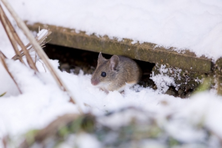 Як захистити сад і дім взимку від мишей і інших гризунів?