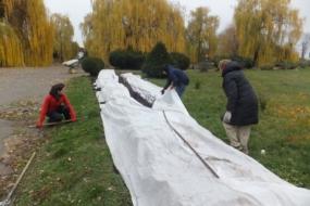 Зимівля троянд в Україні — досвід професіоналів