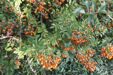 У сорту Lykkefund рясне як цвітіння так і плодоношення.