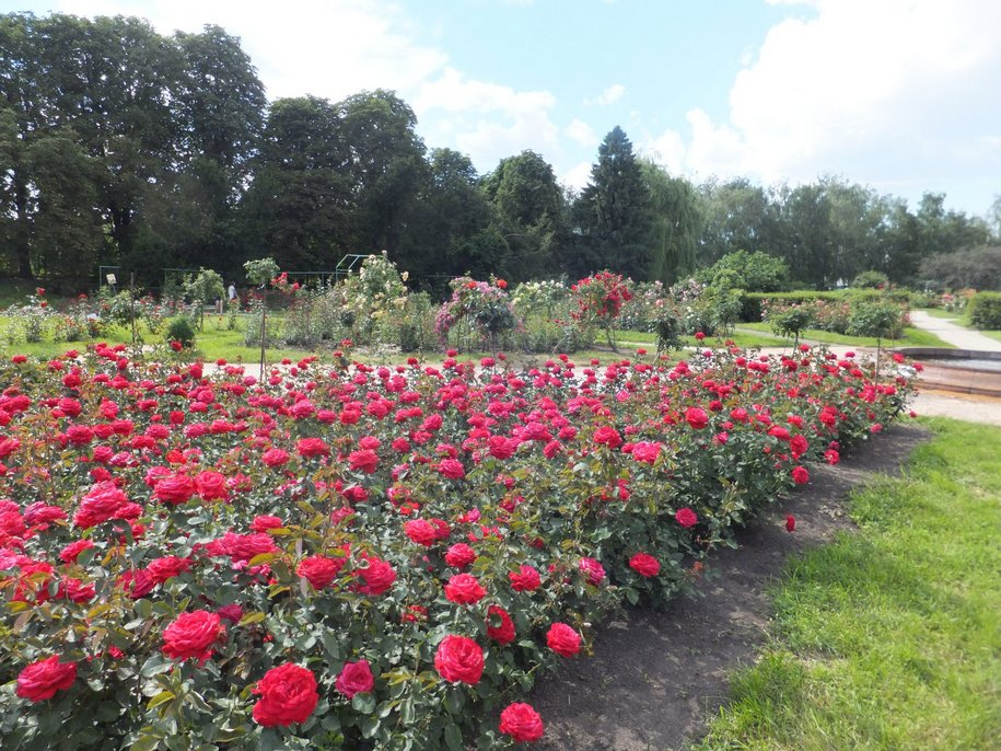Ботанічний сад ім. Гришка – найбільша колекція троянд в Україні і головний її розарій