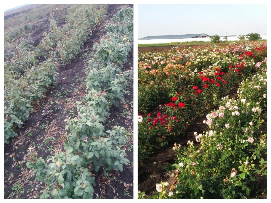 Розплідник троянд MazurіRoze, Одещина