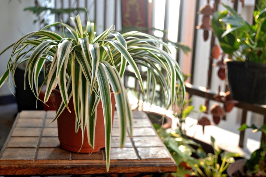 Спека також підсушує кінчики листя у кімнатних рослин, ідеально - підібрати їм більш прохолодне місце