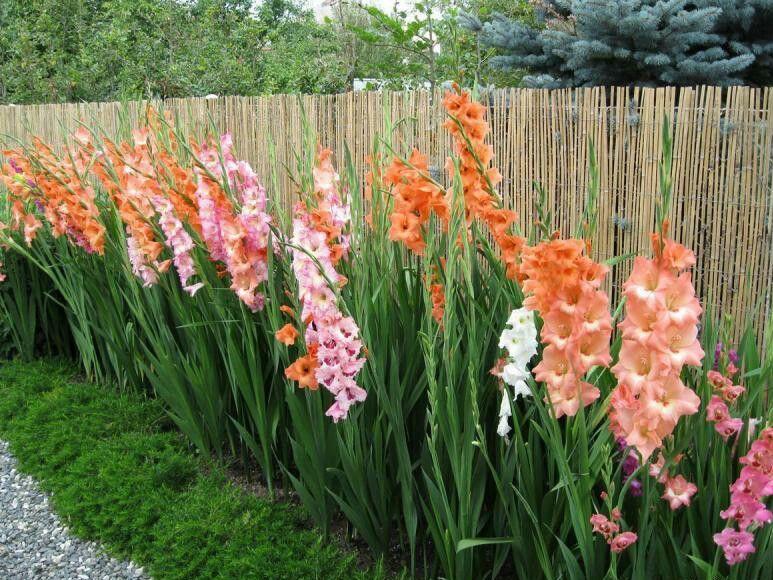 Цвітіння гладіолусів може тривати з липня до жовтня при правильному догляді