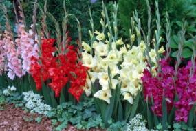 Садова класика гладіолуси — зберігання, посадка, умови і догляд