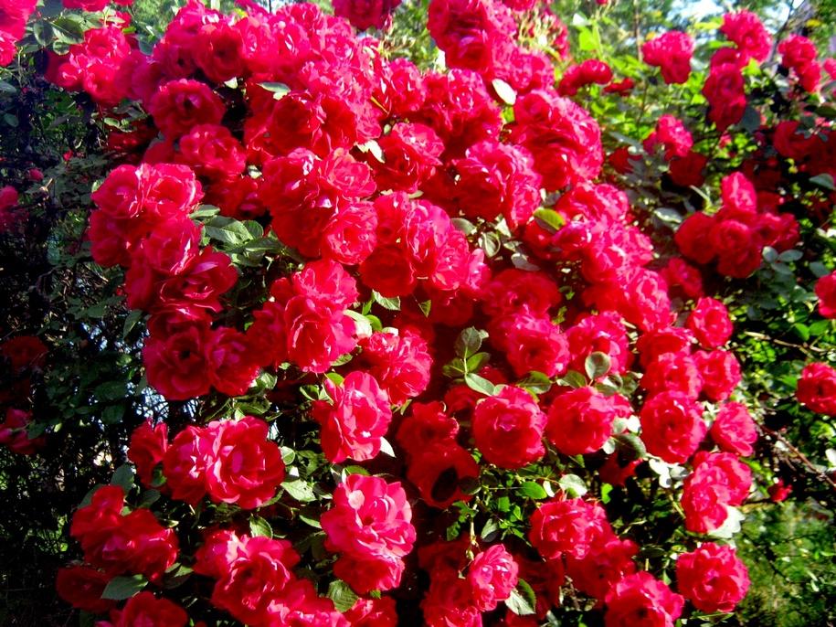 Троянда «Фламентанц»