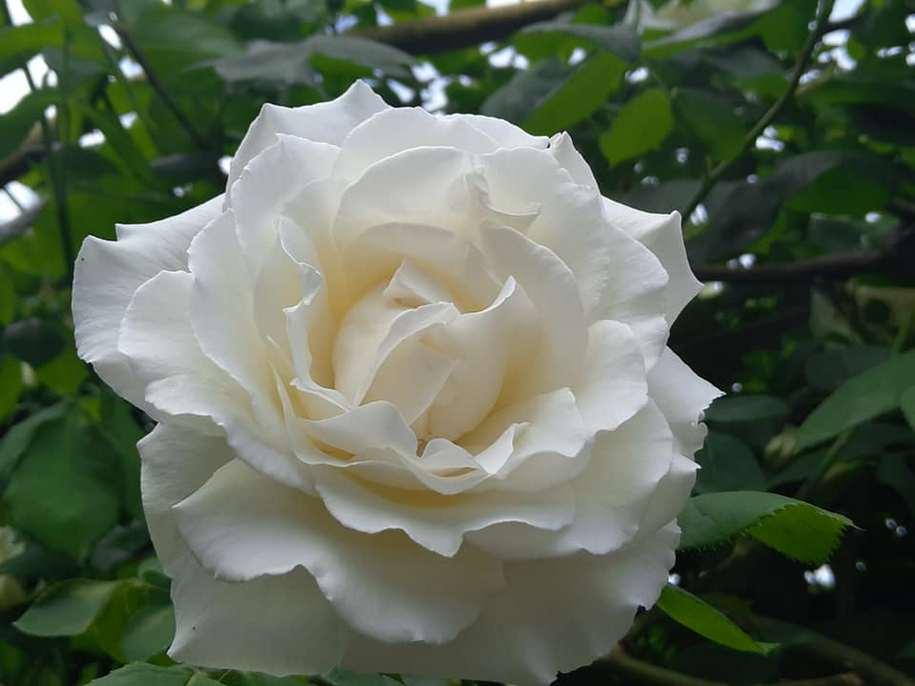 Троянда «Паульс Лемон Пілар» (Paul`s Lemon Pillar)