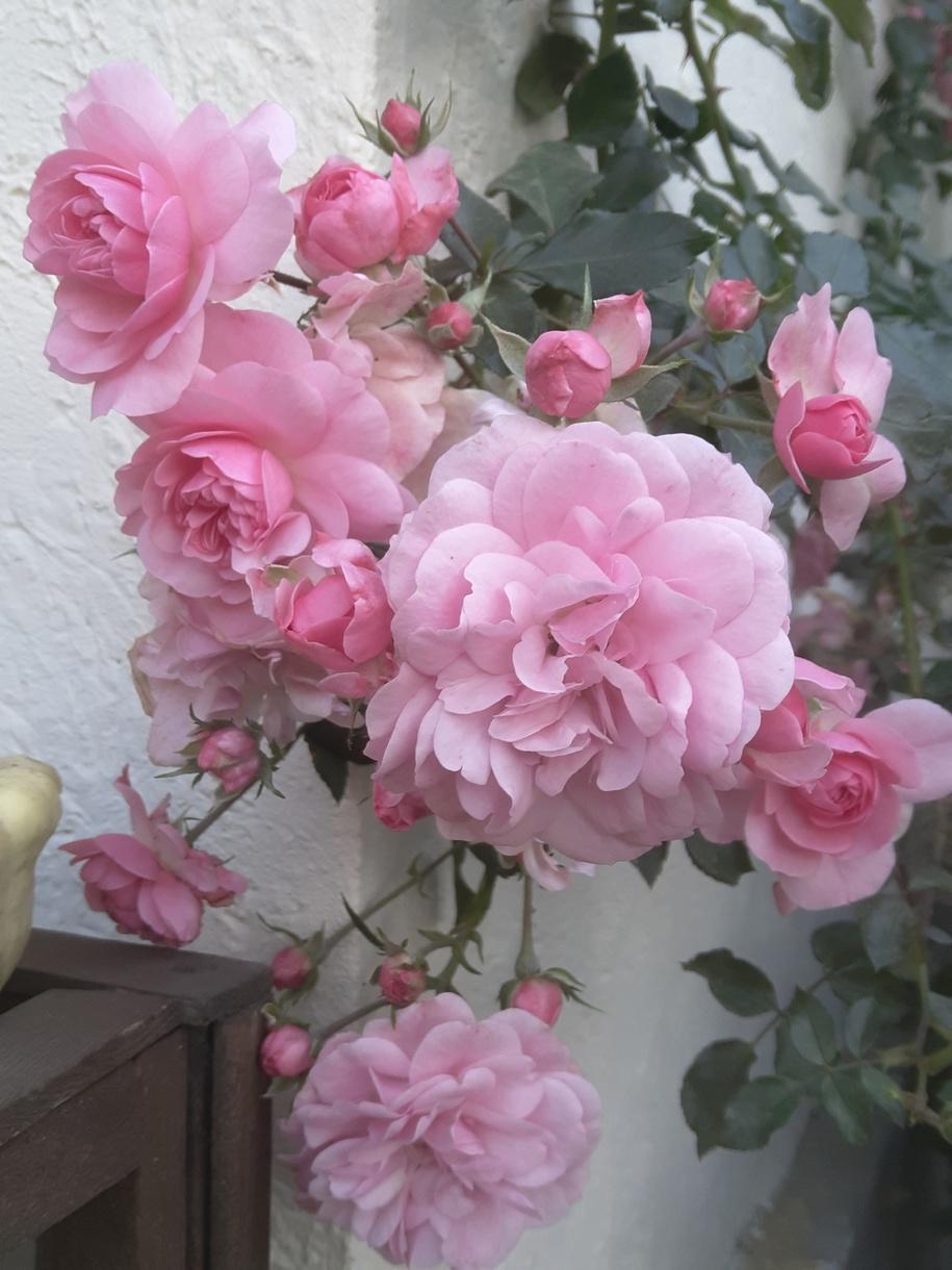 Заклопотаність і несвоєчасне зрізування вже добре за'язаних зелених плодів на «Боніці» «допомогло» продовжити квітування цієї троянди аж до морозів – не поодинокого, а саме обливного. Можна було частину зрізати, а частину – залишити на флористику. Милувалась осяяним квітами куточком, коли вже всі квіти відцвіли.